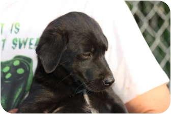 Labrador Retriever Puppy for adoption in Prince William County, Virginia - james