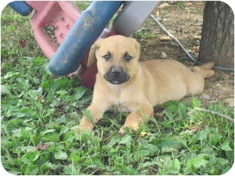 Labrador Retriever/German Shepherd Dog Mix Puppy for adoption in castalian springs, Tennessee - Buster