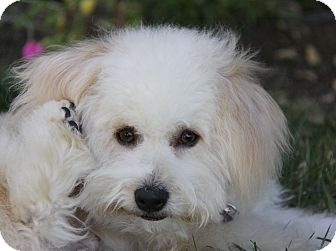 Havanese/Poodle (Miniature) Mix Dog for adoption in Newport Beach, California - BRENT