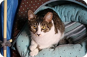 Domestic Shorthair Cat for adoption in Jenkintown, Pennsylvania - Adele - Updated