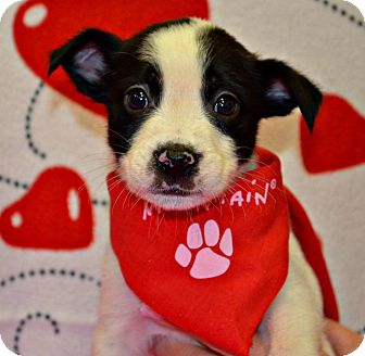 Terrier (Unknown Type, Medium)/Boxer Mix Puppy for adoption in Spruce Pine, North Carolina - Cupid