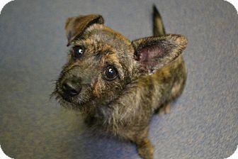Dachshund Mix Dog for adoption in Edwardsville, Illinois - Lilly