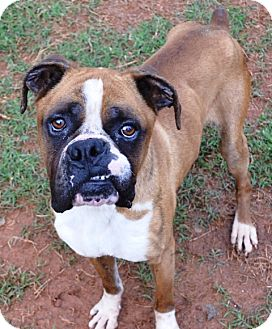 Boxer Dog for adoption in North Wales, Pennsylvania - HOUSTON