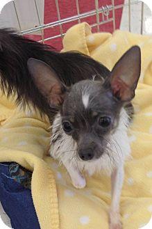Yorkie, Yorkshire Terrier/Chihuahua Mix Dog for adoption in Brea, California - Lu Lu
