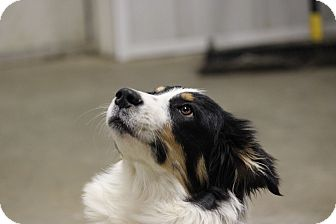 Border Collie Puppy for adoption in Oakville, Connecticut - Collin