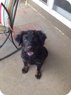 Australian Shepherd/Labrador Retriever Mix Puppy for adoption in Studio City, California - Jasmin