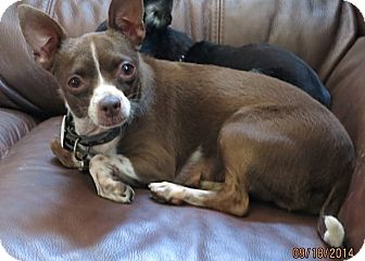 Chihuahua Mix Dog for adoption in San Diego, California - Rayne