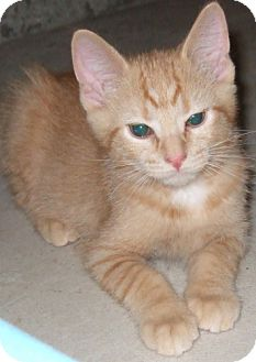 Domestic Shorthair Cat for adoption in Parkville, Missouri - Opee