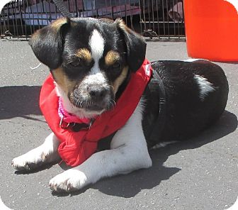 Chihuahua/Beagle Mix Puppy for adoption in Los Angeles, California - JAMESON