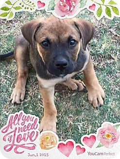Shepherd (Unknown Type) Mix Puppy for adoption in Corona, California - CHELSEA