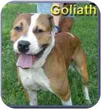 Mastiff Mix Dog for adoption in Aldie, Virginia - Goliath