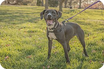 Labrador Retriever/Pit Bull Terrier Mix Dog for adoption in Columbus, Ohio - Lady Belle