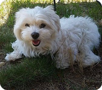 Maltese Dog for adoption in Levitttown, New York - Brandon