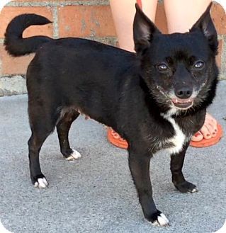 Chihuahua Mix Dog for adoption in Los Angeles, California - BIRDIE (video)