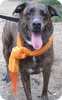 Hound (Unknown Type)/Labrador Retriever Mix Dog for adoption in Voorhees, New Jersey - Lady