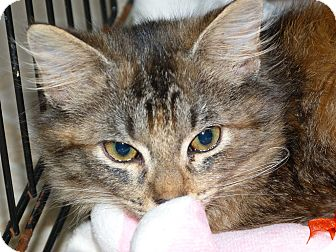 Maine Coon Cat for adoption in Stafford, Virginia - Chloe