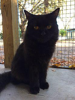 Turkish Angora Cat for adoption in Odessa, Florida - Sadie