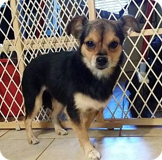 Chihuahua/Pomeranian Mix Dog for adoption in Lawrenceville, Georgia - Peanut