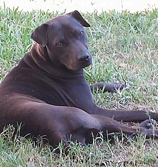 Shar Pei/Labrador Retriever Mix Dog for adoption in Houston, Texas - Onyx