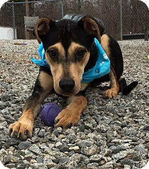 Shepherd (Unknown Type) Mix Dog for adoption in Greensboro, North Carolina - Hikoo