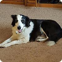 Border Collie Mix Dog for adoption in Allen, Texas - Lizzy