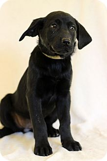Labrador Retriever Mix Puppy for adoption in Waldorf, Maryland - Bailey