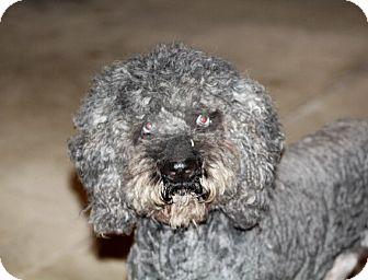 Australian Shepherd/Poodle (Standard) Mix Dog for adoption in Liberty Center, Ohio - Indigo