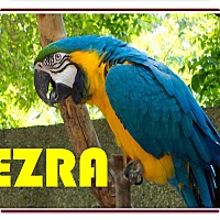 Adopt A Pet :: Ezra Blue & Gold Macaw +1 - Vancouver, WA