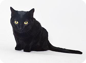 Domestic Shorthair Cat for adoption in Fruit Heights, Utah - Beautiful