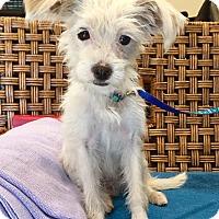 Adopt A Pet :: Amelie - Santa Ana, CA