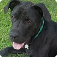 Adopt A Pet :: Shiloh3 - Torrance, CA
