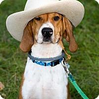 Treeing Walker Coonhound Dog for adoption in Fayetteville, Arkansas - Tex