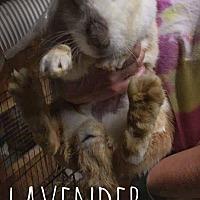 Adopt A Pet :: Lavender Brown - Elizabethtown, KY