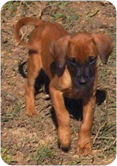 Bloodhound/Coonhound (Unknown Type) Mix Puppy for adoption in Vine Grove, Kentucky - Delilah