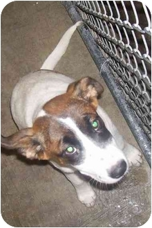 Jack Russell Terrier Mix Puppy for adoption in Osceola, Arkansas - Candy