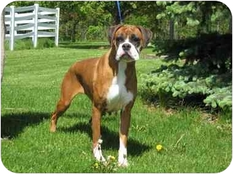 Boxer Dog for adoption in Arlington Heights, Illinois - Sweetheart