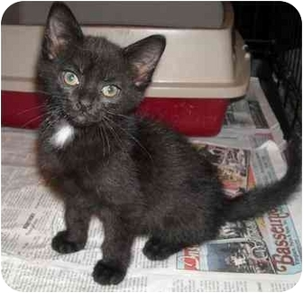 Domestic Shorthair Kitten for adoption in Newburgh, Indiana - Hanny