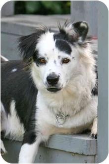Australian Shepherd Mix Dog for adoption in San Pedro, California - PEBBLES