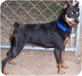 Miniature Pinscher Mix Dog for adoption in Chambersburg, Pennsylvania - Ruby