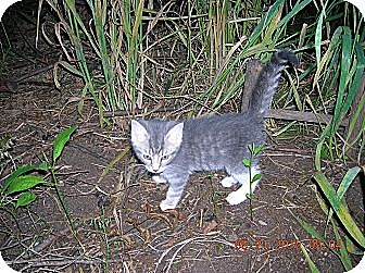 Domestic Shorthair Kitten for adoption in Union, South Carolina - Kittens
