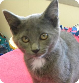 Domestic Shorthair Kitten for adoption in Marion, Wisconsin - Abby