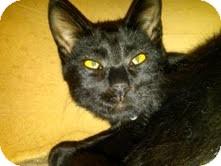 Domestic Shorthair Cat for adoption in Medina, Ohio - Deegan