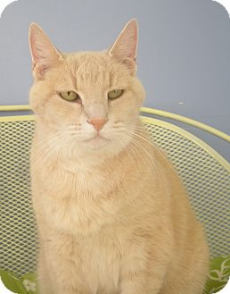 Domestic Shorthair Cat for adoption in Virginia Beach, Virginia - Ollie