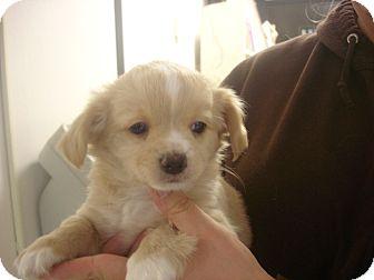 Pekingese/Pomeranian Mix Puppy for adoption in Manassas, Virginia - Shoestring
