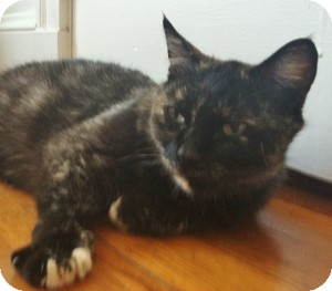 Calico Cat for adoption in Medford, Massachusetts - Kiwi