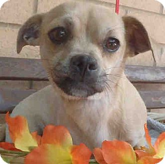Chihuahua Mix Dog for adoption in Encino, California - Nutella