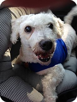 Bichon Frise Mix Dog for adoption in Wilmington, Delaware - Arthur