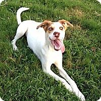 Adopt A Pet :: Brodie (SEE VIDEO) - Burlington, VT