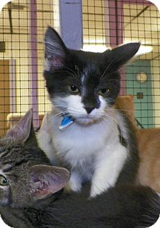 Domestic Shorthair Kitten for adoption in Dover, Ohio - Pico
