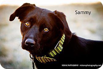 Border Collie/Labrador Retriever Mix Dog for adoption in Lisbon, Iowa - Sammy